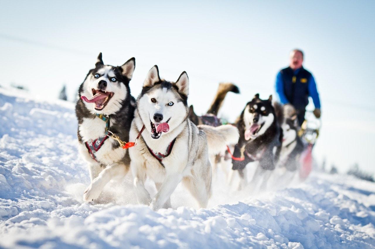 Ездовые собаки оказались «атлетичнее» гончих