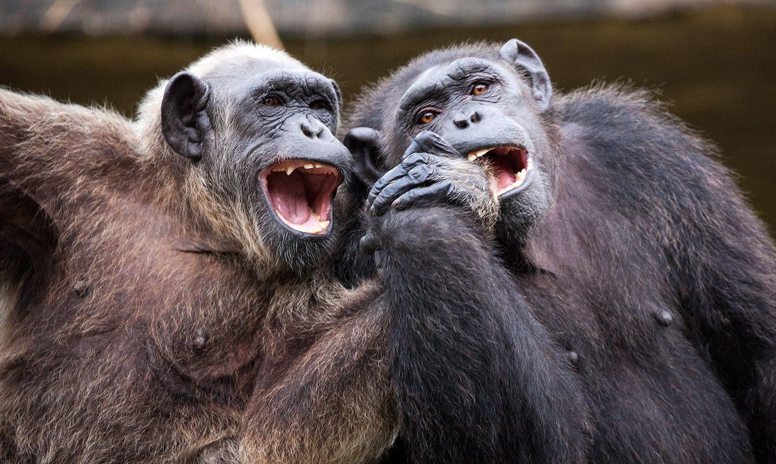 Дружелюбие увеличило продолжительность жизни самцов шимпанзе
