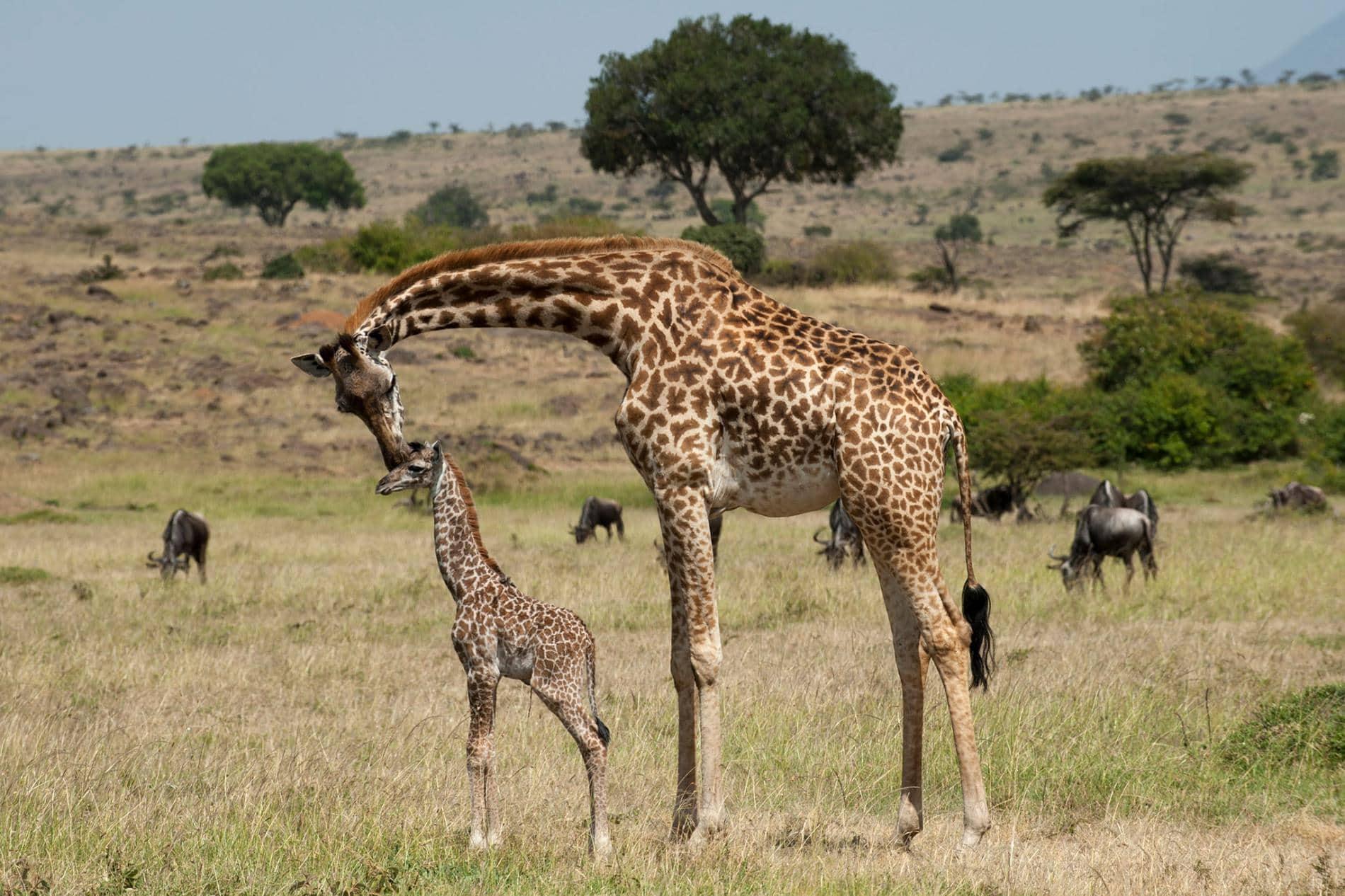 Пятна жирафов передаются по наследству и влияют на выживание