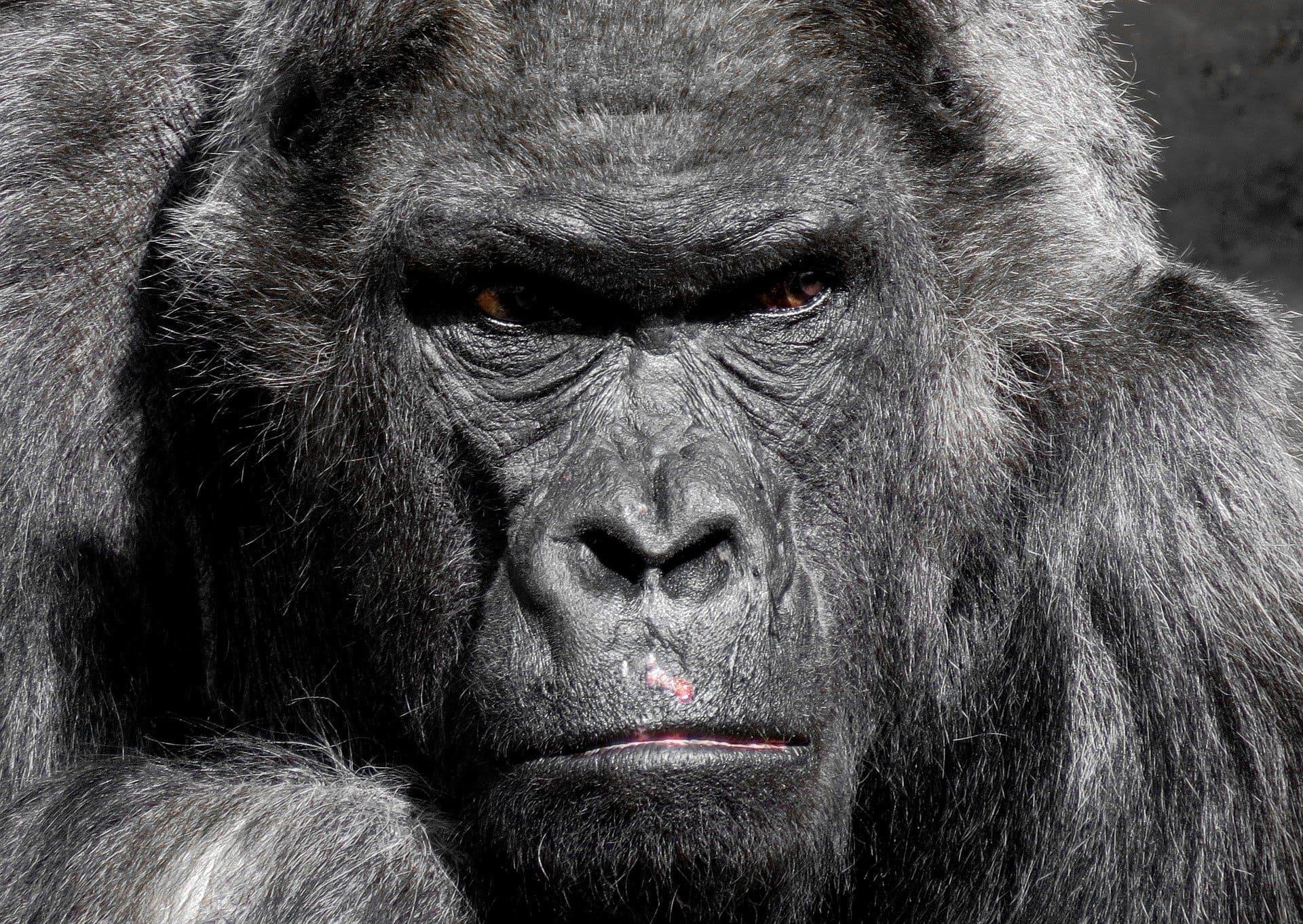Забота о детях помогает гориллам в любви