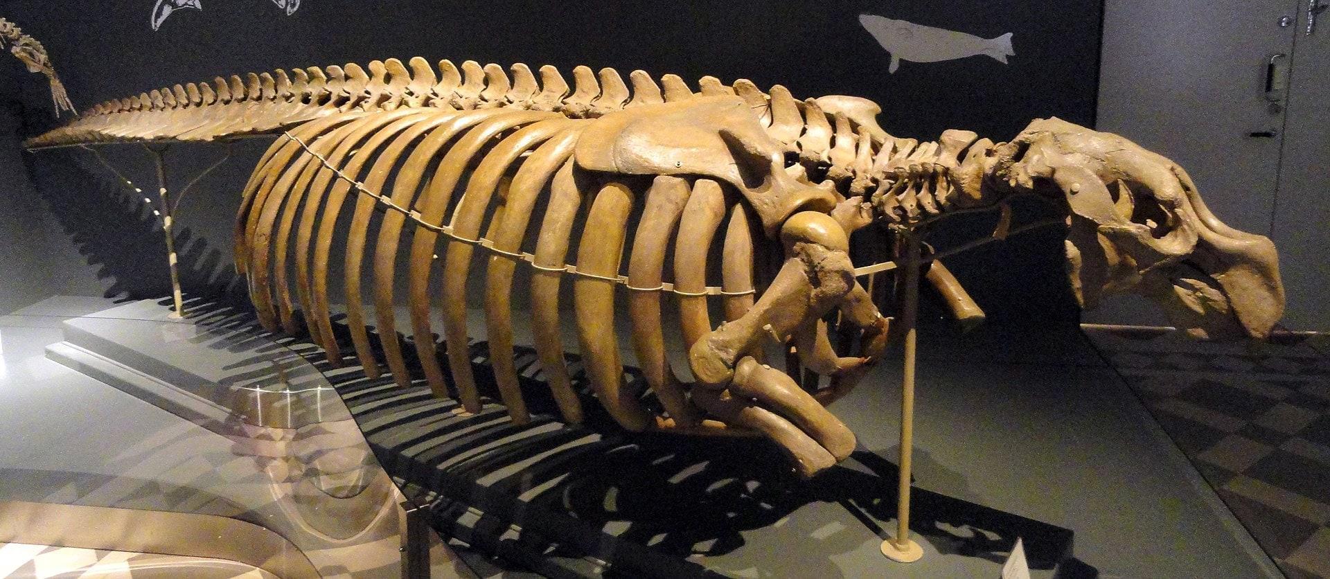мтДНК стеллеровой коровы прочтена спустя 250 лет после её истребления