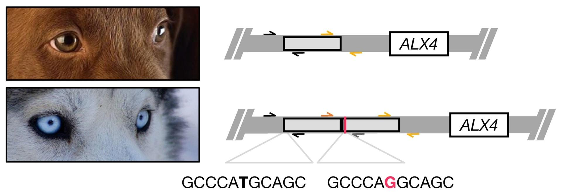 Генетики объяснили голубоглазость хаски