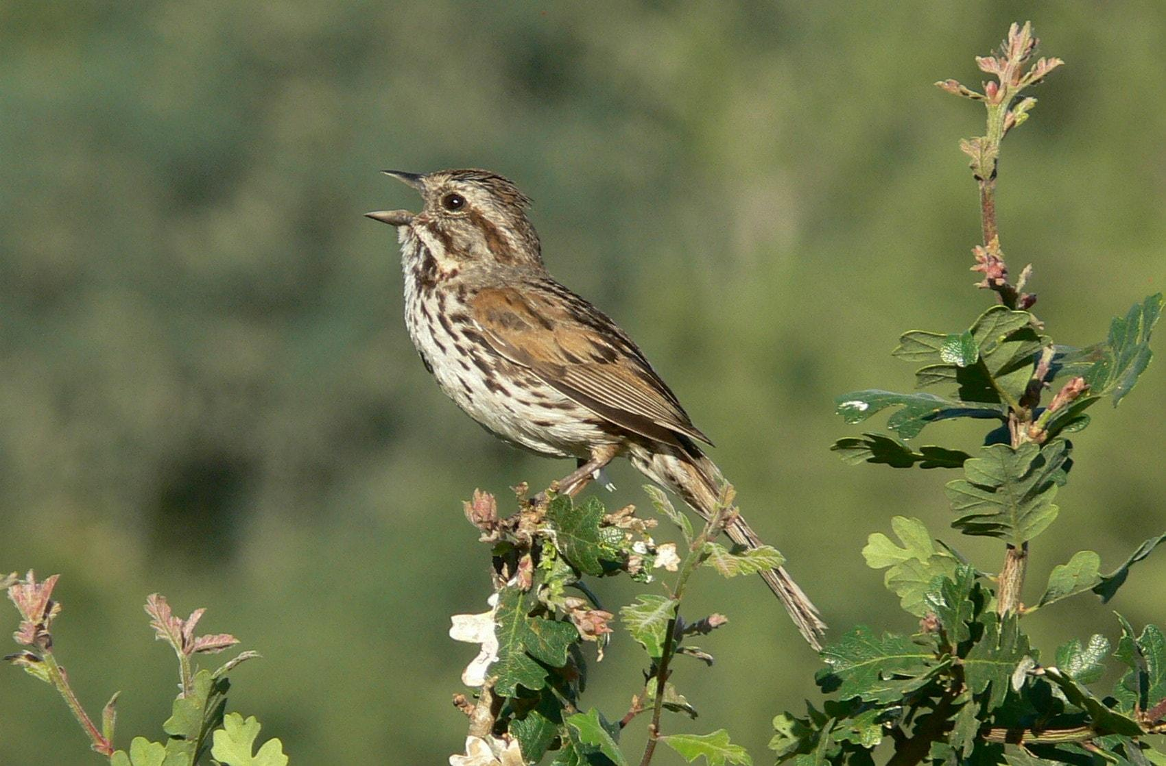 «Городские» птицы оказались агрессивнее «деревенских»