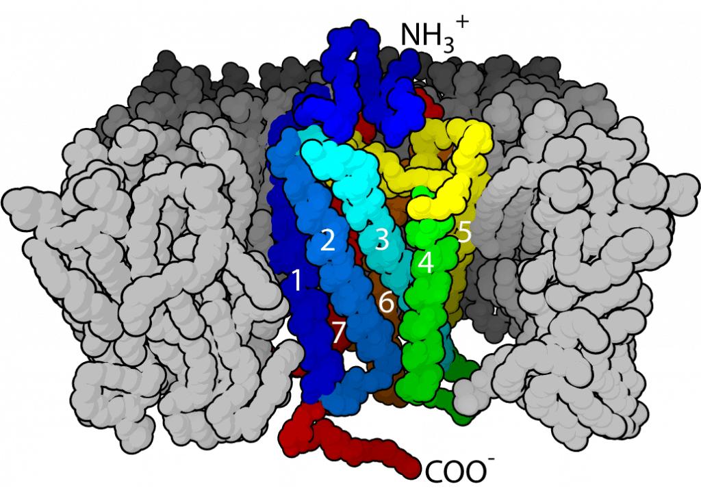 У трудного рецепторного белка увидели структуру