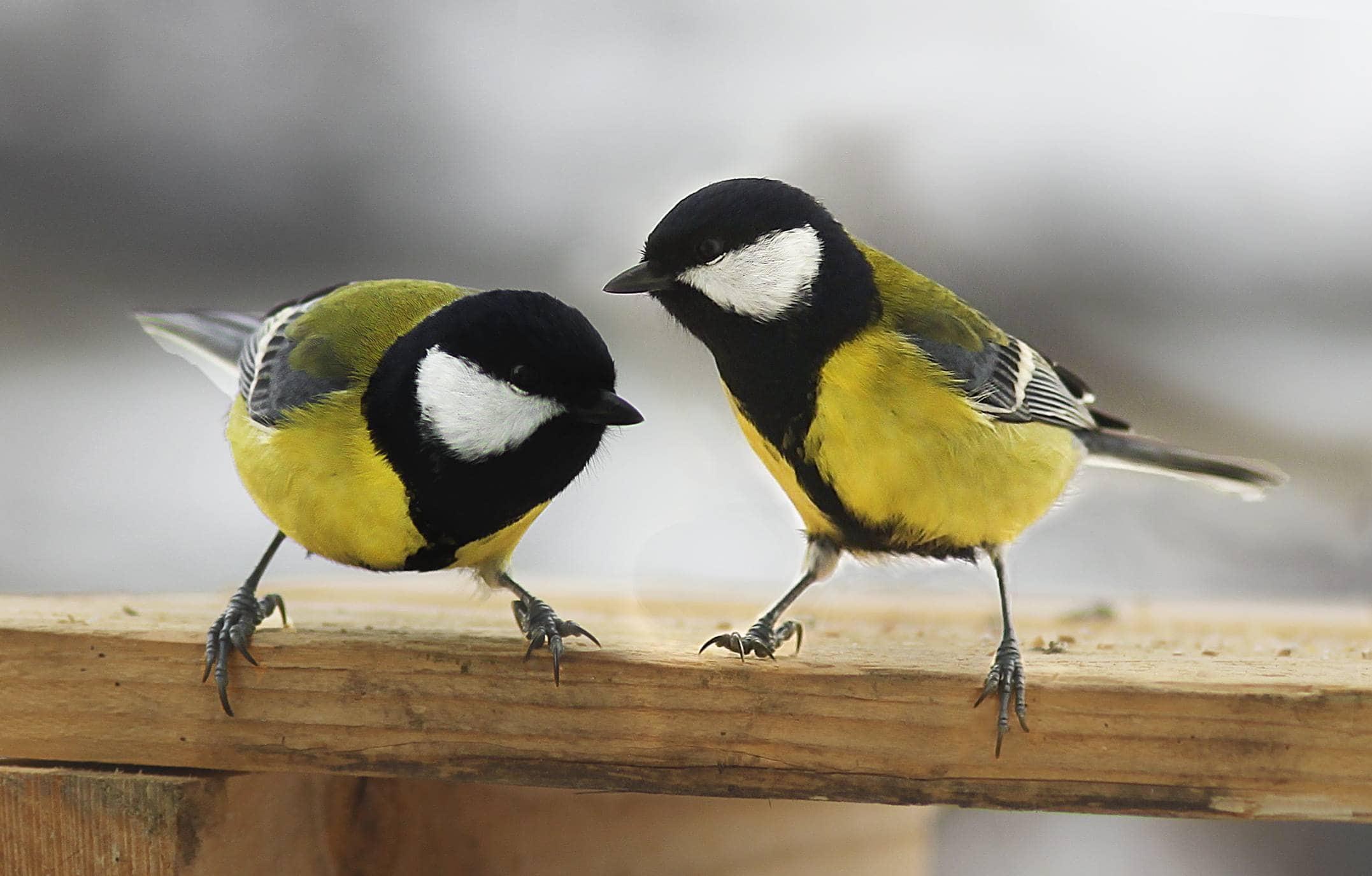 Характер определил поведение самцов синиц при выборе пары