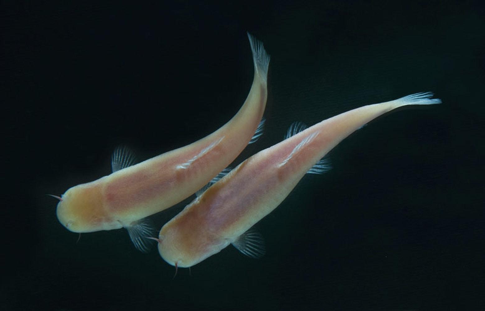 Пещерные рыбы подтвердили «динозавровую» теорию уязвимости млекопитающих перед ультрафиолетом