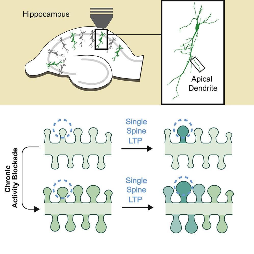 «Двуликий Янус» нейропластичности