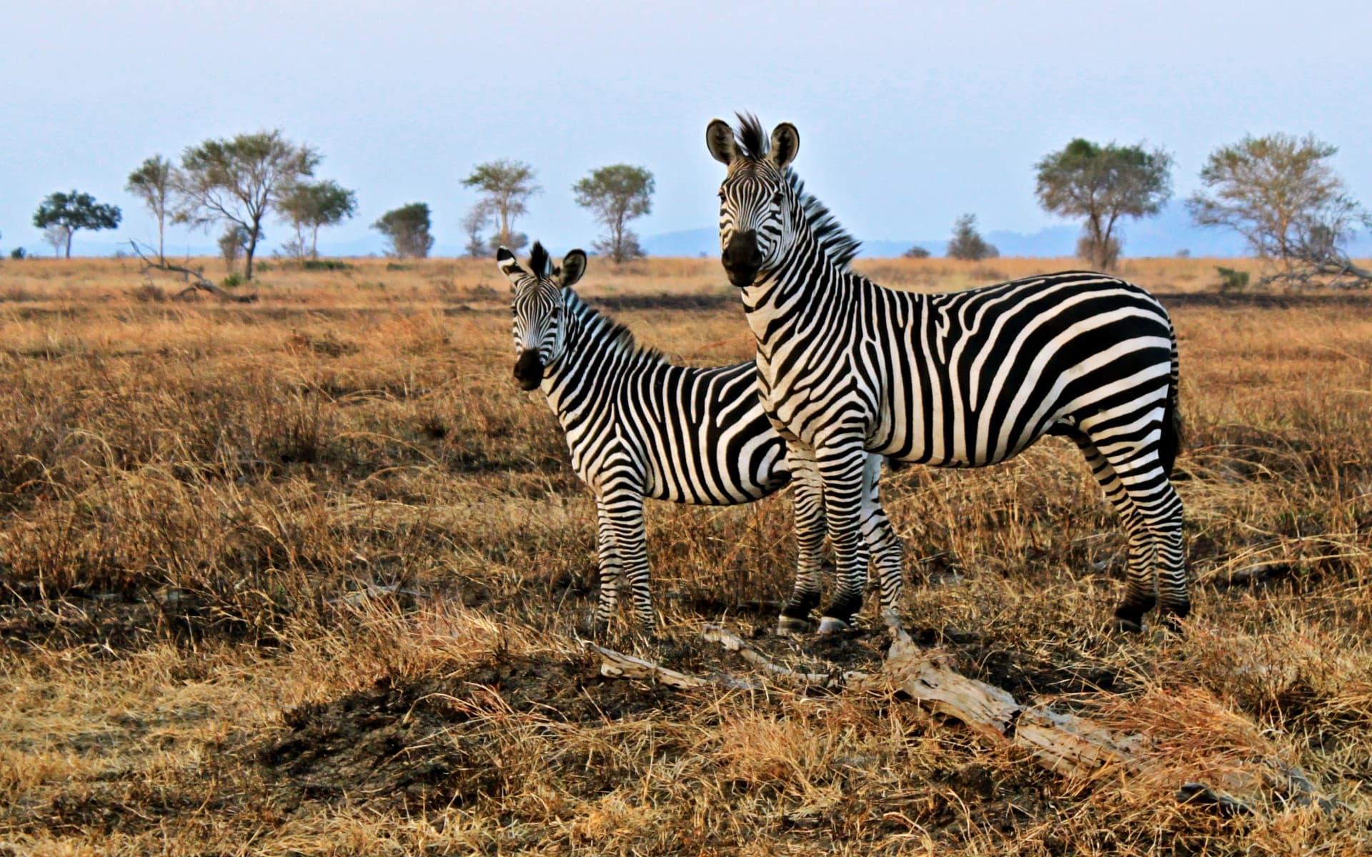 Компьютерное моделирование объяснило назначение полосок зебр