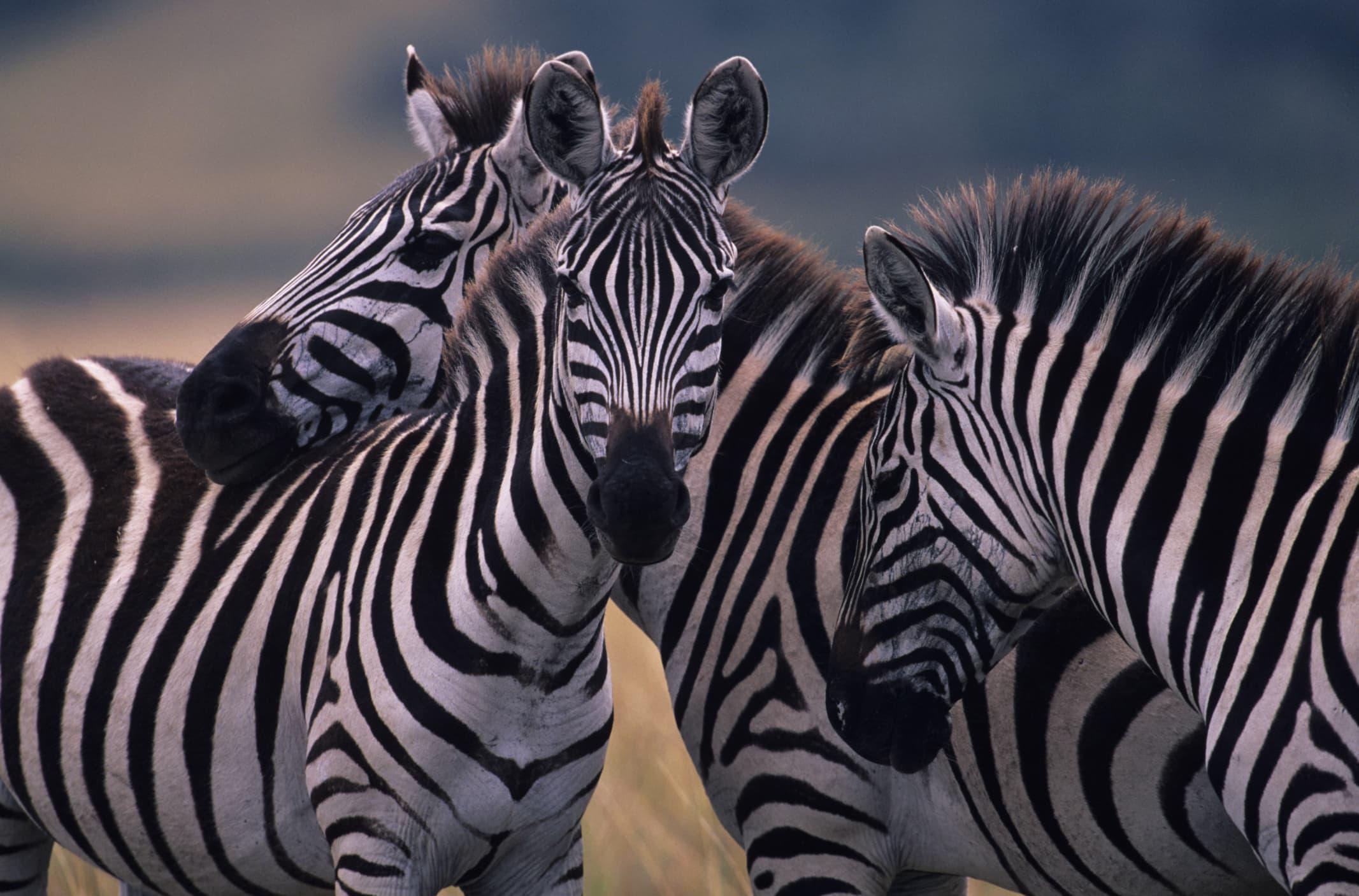 Полоски защищают зебр от назойливых мух