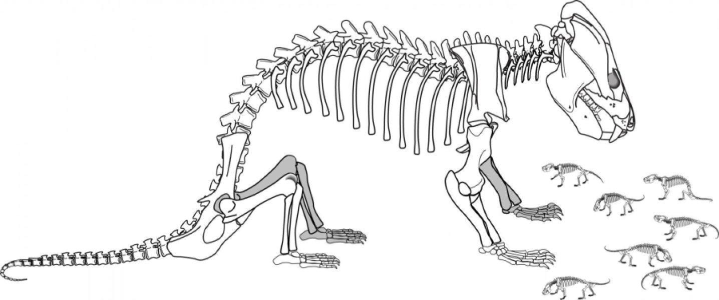 Окаменелости беременной самки рассказали о размножении предков млекопитающих