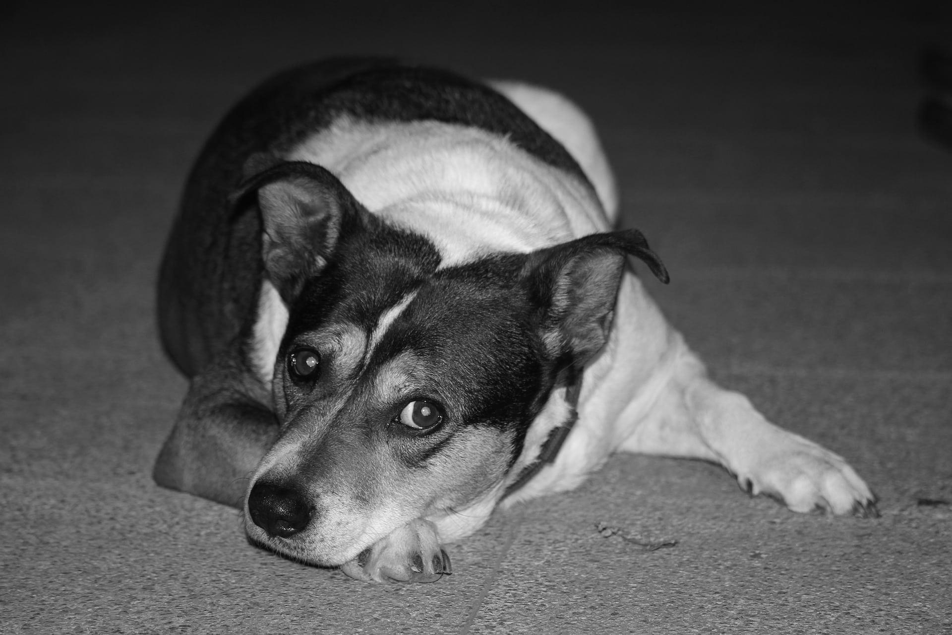Тревожное расстройство у собак повлияло на метаболизм