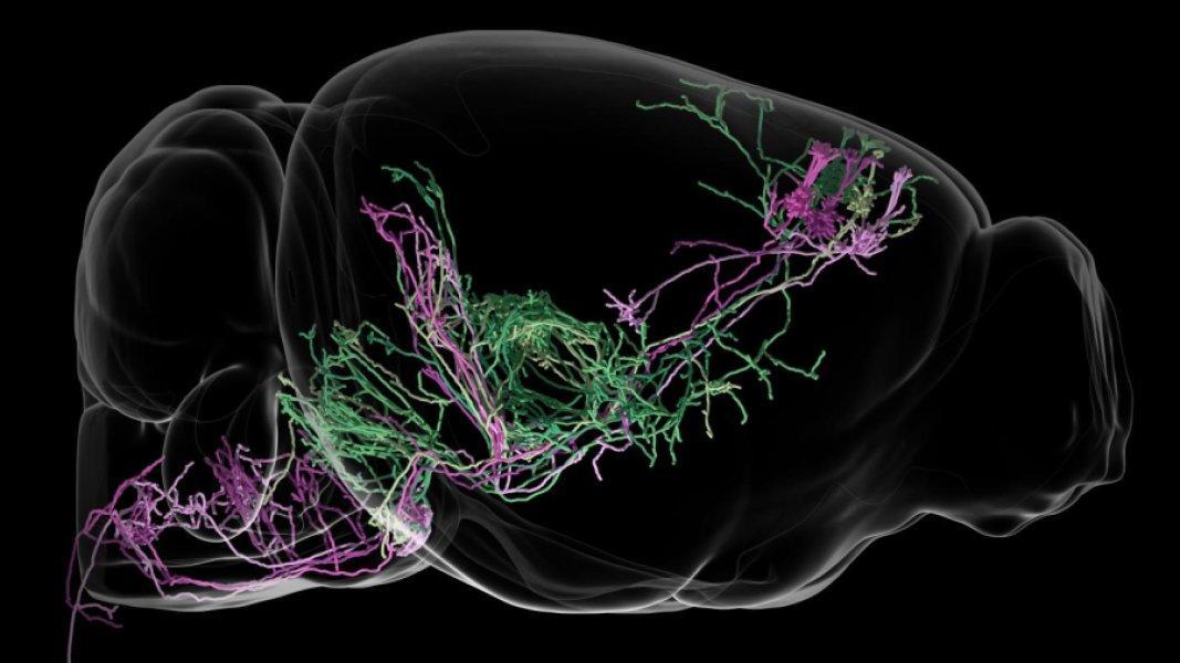 Расшифровка нейронных контуров