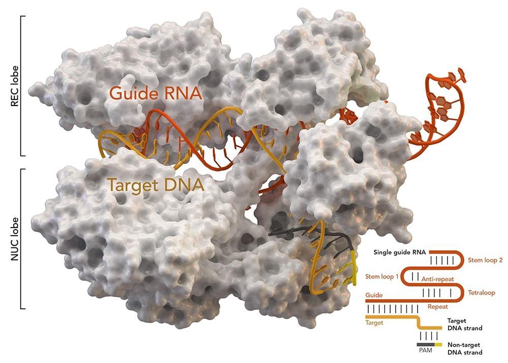 Машинное обучение помогло CRISPR отредактировать геном по-настоящему