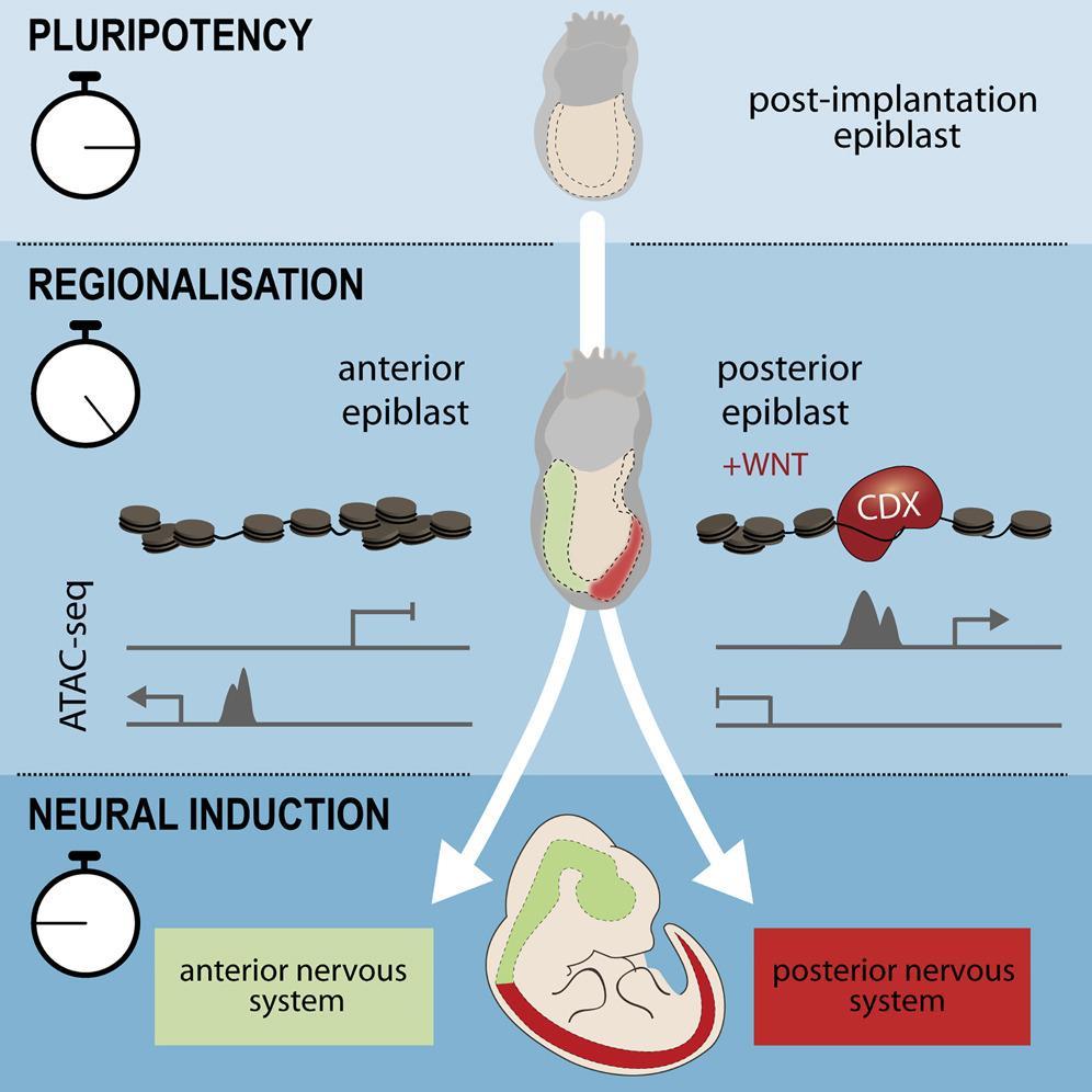 Новые подробности эмбрионального развития нервной системы