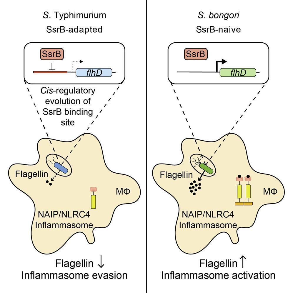 Сальмонелла прячет хвост, становясь невидимой для иммунной системы