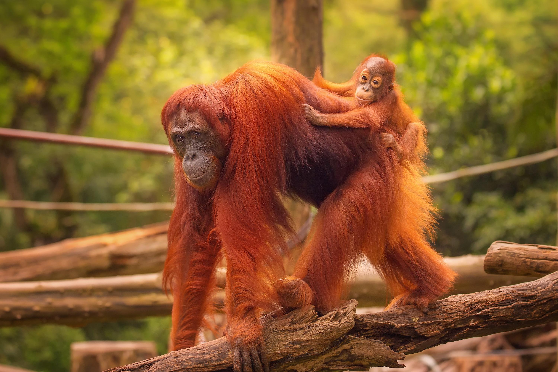 Орангутаны рассказывают друг другу о прошлом
