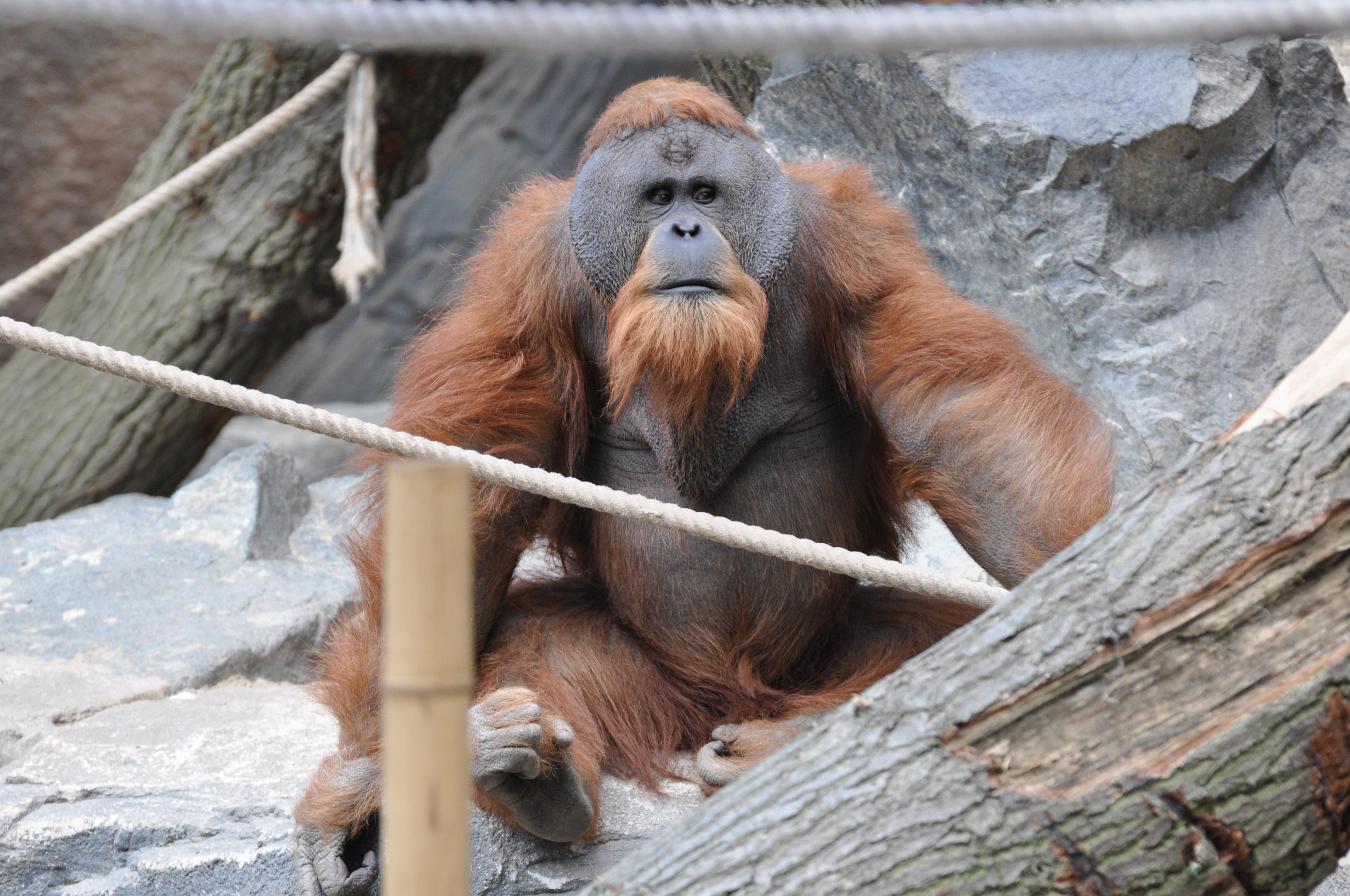 Орангутанов уличили в создании крючков