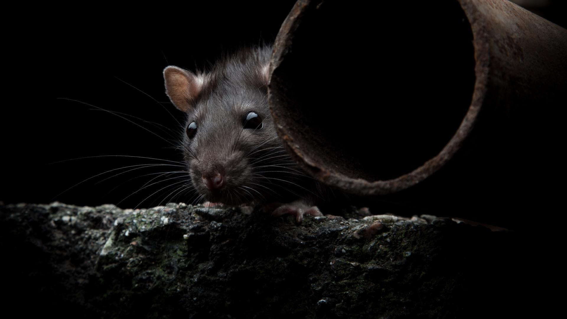Зарегистрирован второй в мире случай заражения человека крысиным гепатитом Е