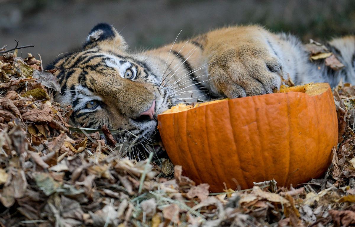 Существует больше подвидов тигров, чем считалось