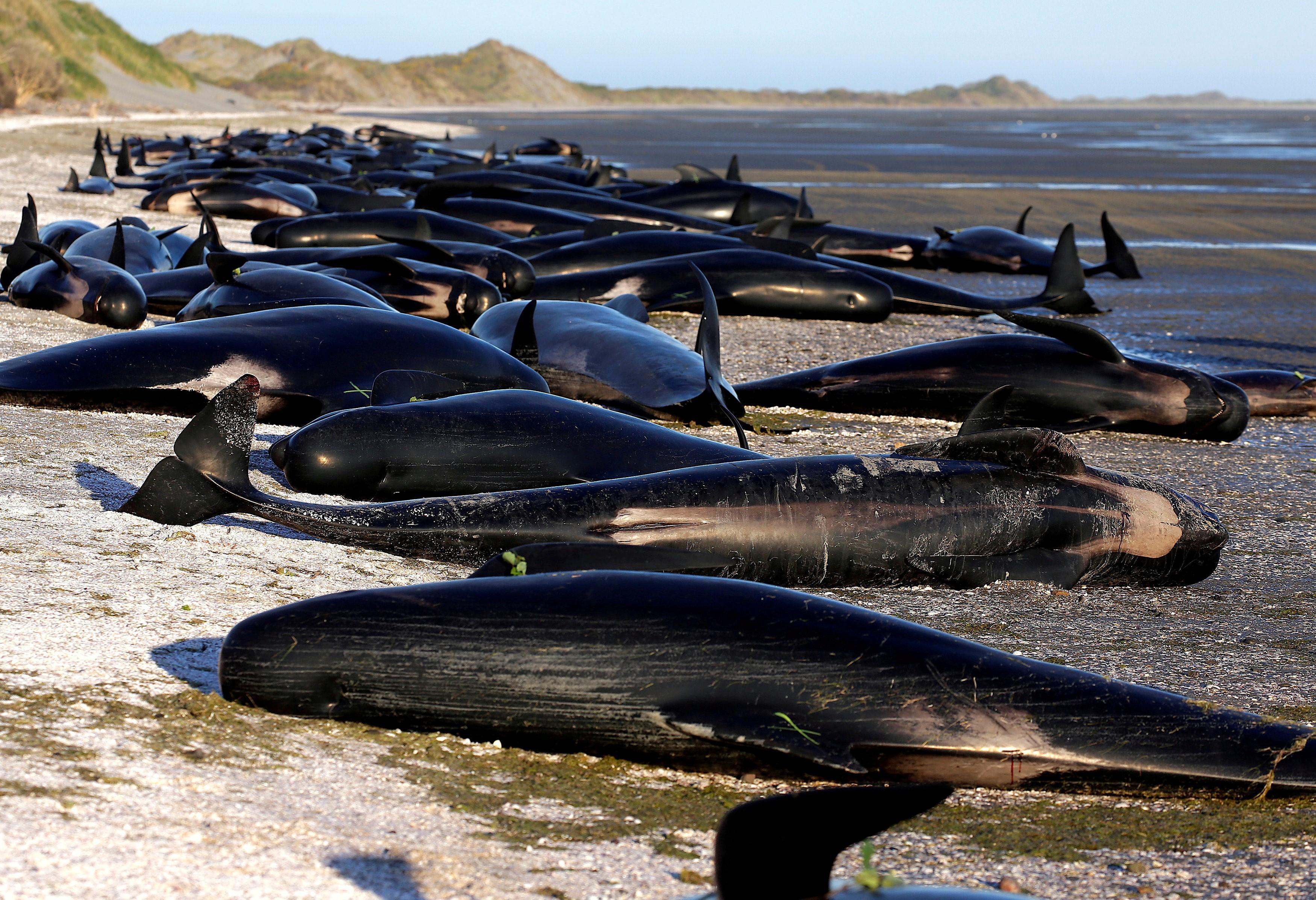 В Новой Зеландии на берег выбросились 145 черных дельфинов