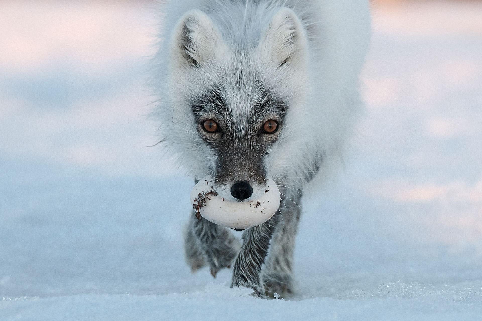 Изменение климата заставило хищников Арктики чаще воровать яйца