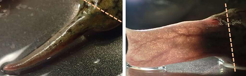 Картинки по запросу Слева – то, что выросло у лягушки на месте отрезанной ноги без наконечника, стимулирующего регенерацию; справа – веслообразный вырост, появившийся с помощью гормонального биореактора