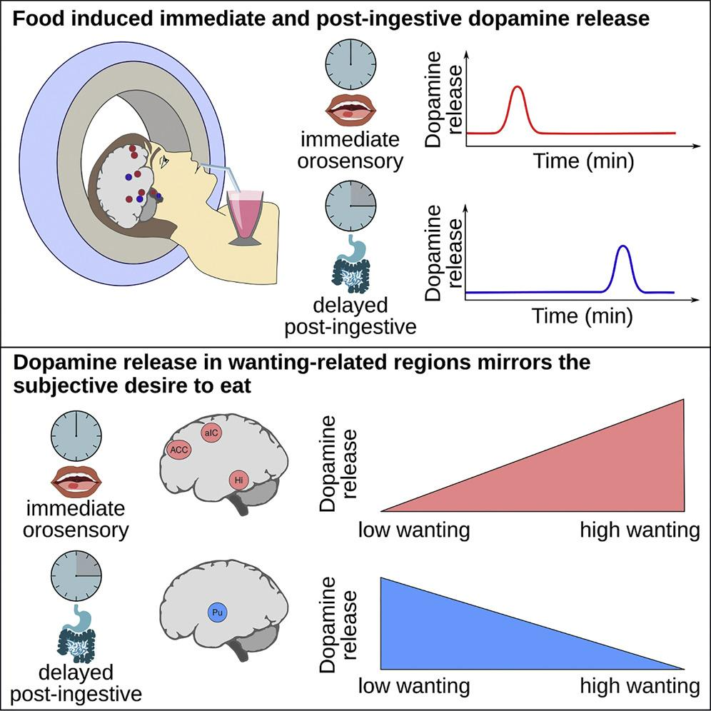 Прием пищи запустил выработку дофамина дважды