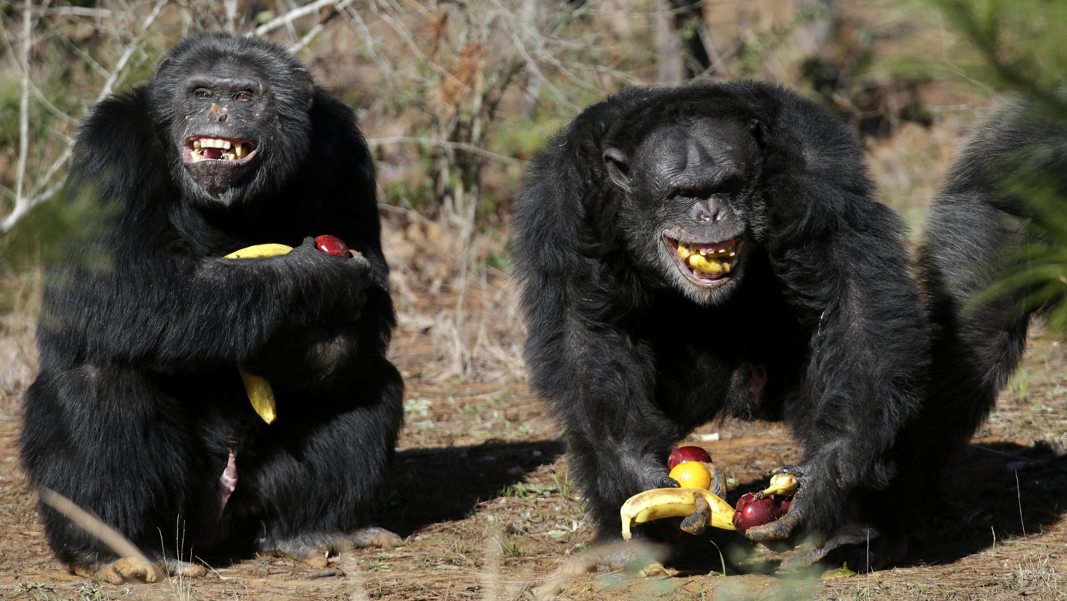 Шимпанзе могут манипулировать другими ради получения выгоды