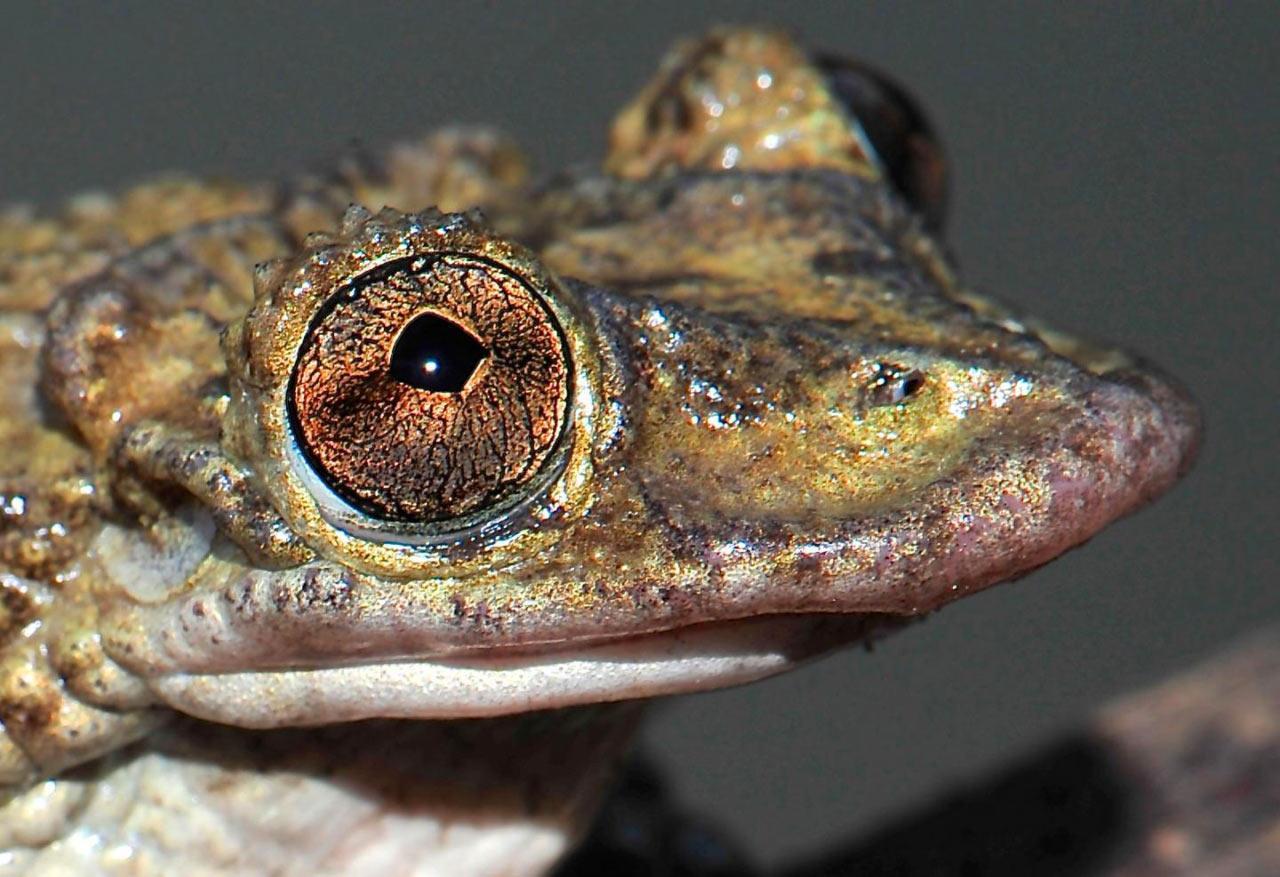 Бразильские лягушки оказались обладателями ядовитых шипов для бодания