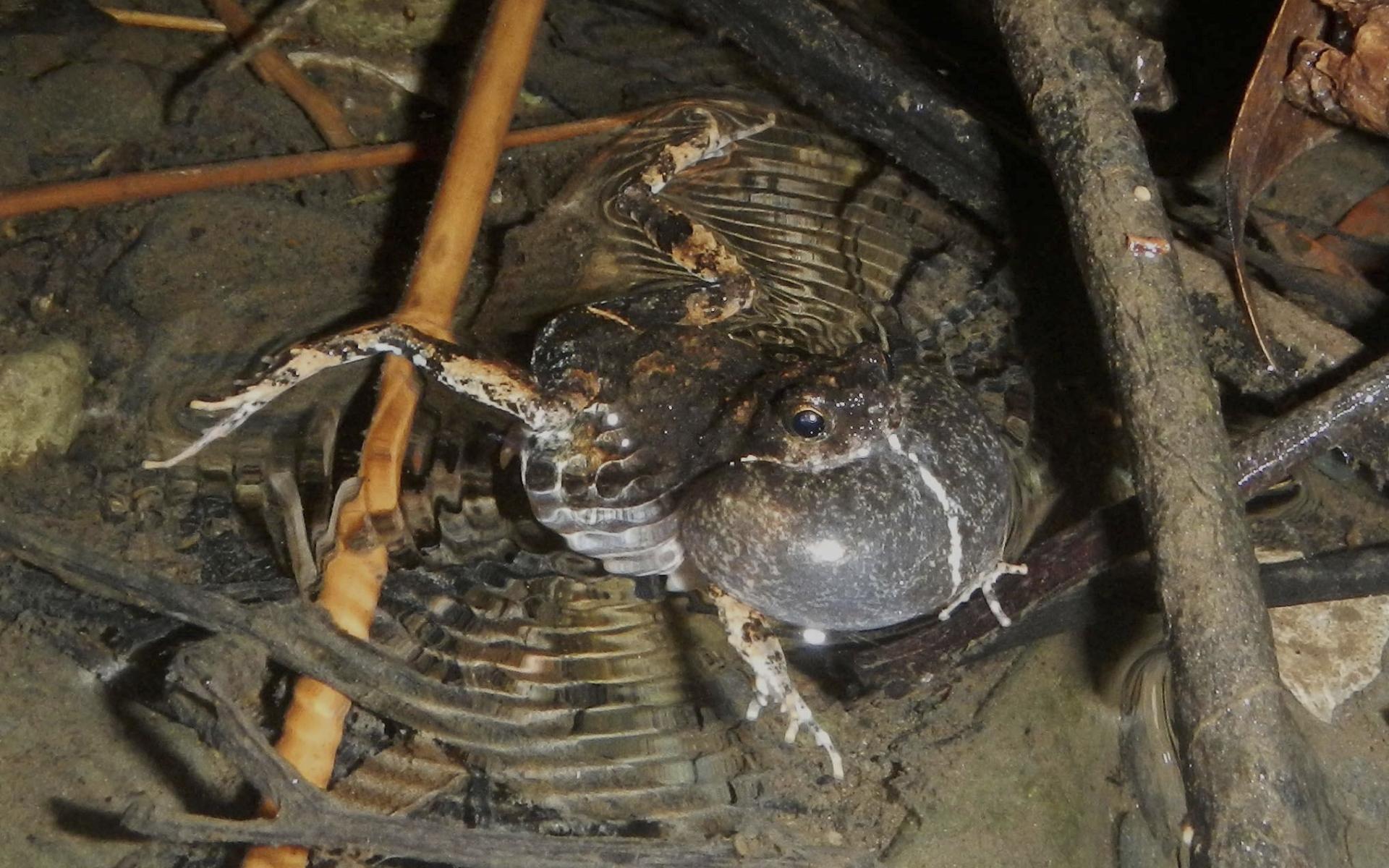 Самки предпочли городских лягушек лесным