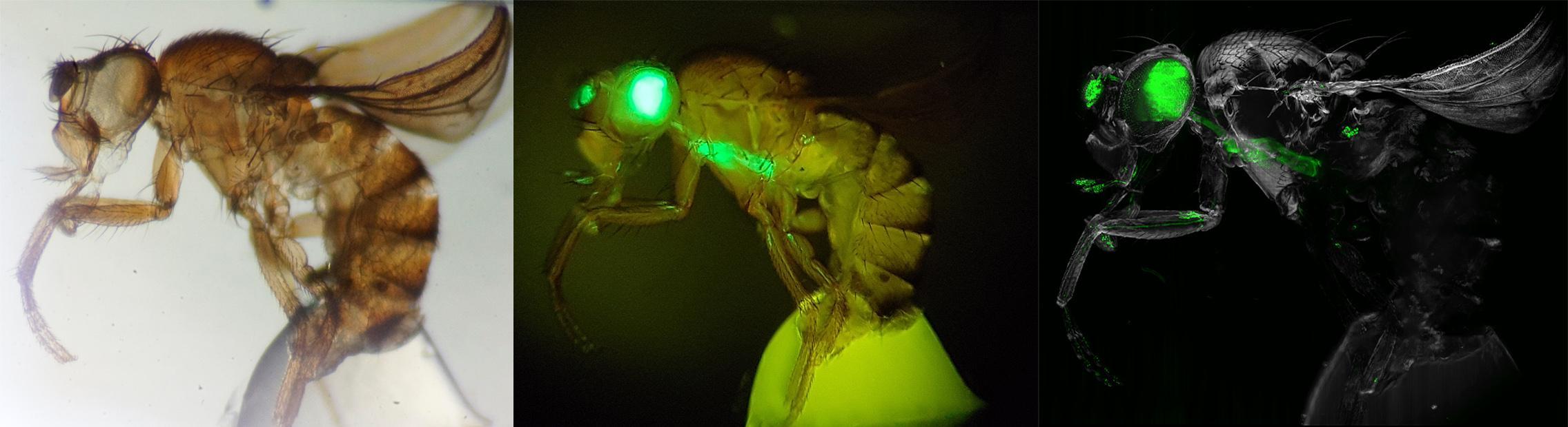 Прозрачная муха и новый подход к изучению строения нервной системы