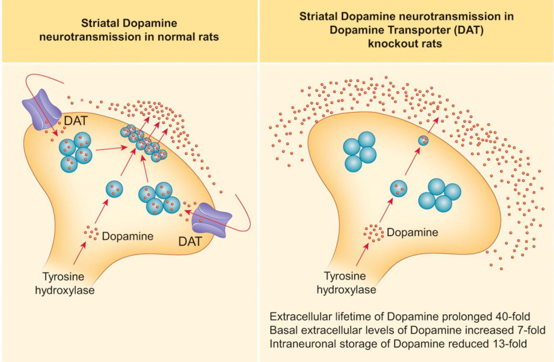Две линии генно-модифицированных крыс помогут изучить дефицит транспортера дофамина