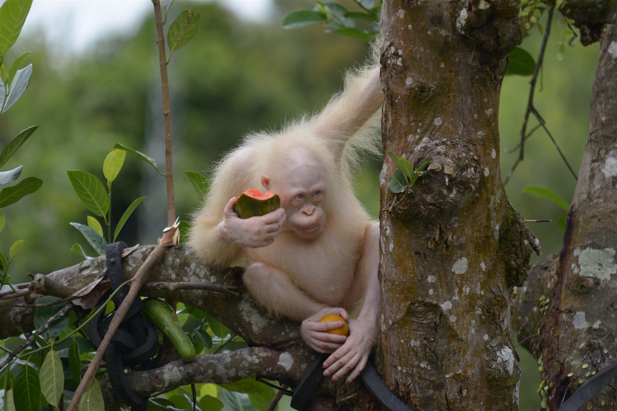 Единственный в мире орангутан-альбинос вернулся в дикую природу