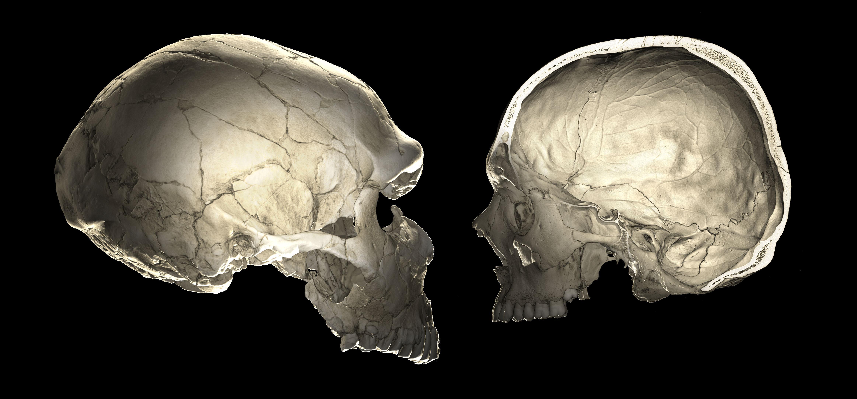 Современные люди донашивают неандертальские черепа