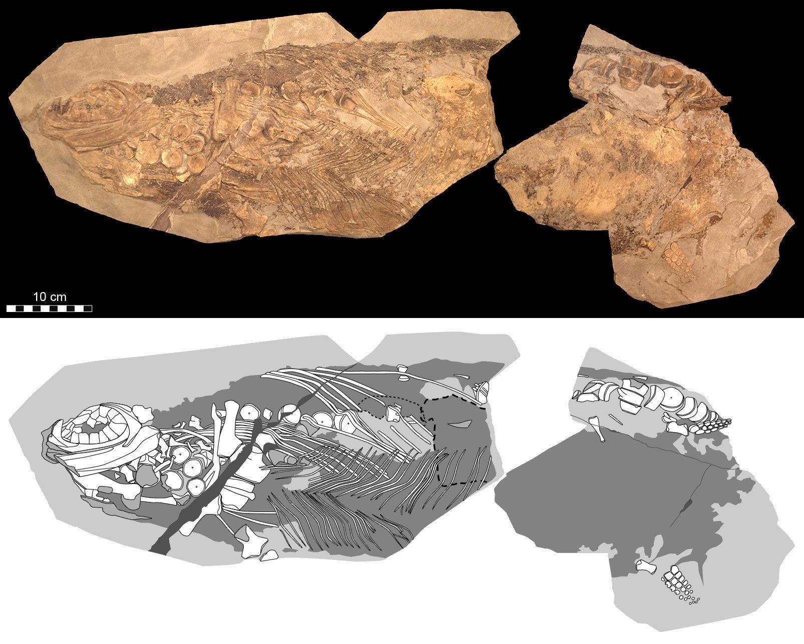 Ихтиозавров назвали теплокровными