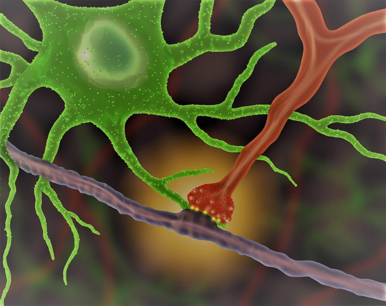 Как увидеть «объятия» астроцита и синапса?