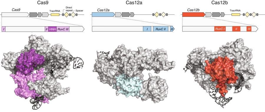 Генетически усиленный CRISPR-Cas12b назвали пригодным для редактирования генома