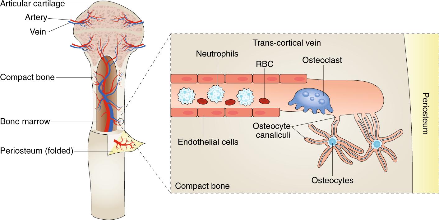 В костях человека найден совершенно новый тип кровеносных сосудов