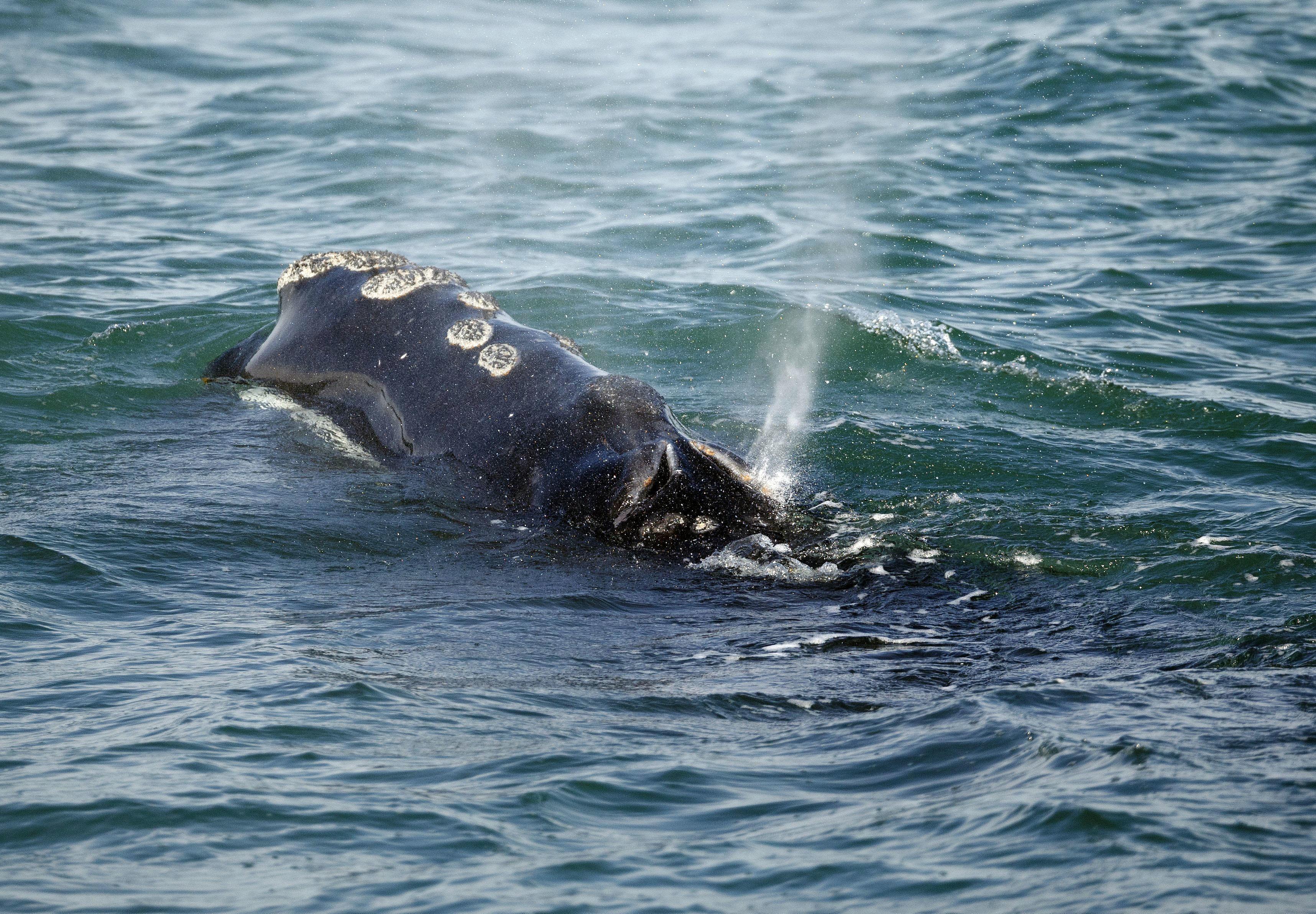 Экологи обнаружили первого за два года детеныша северного гладкого кита