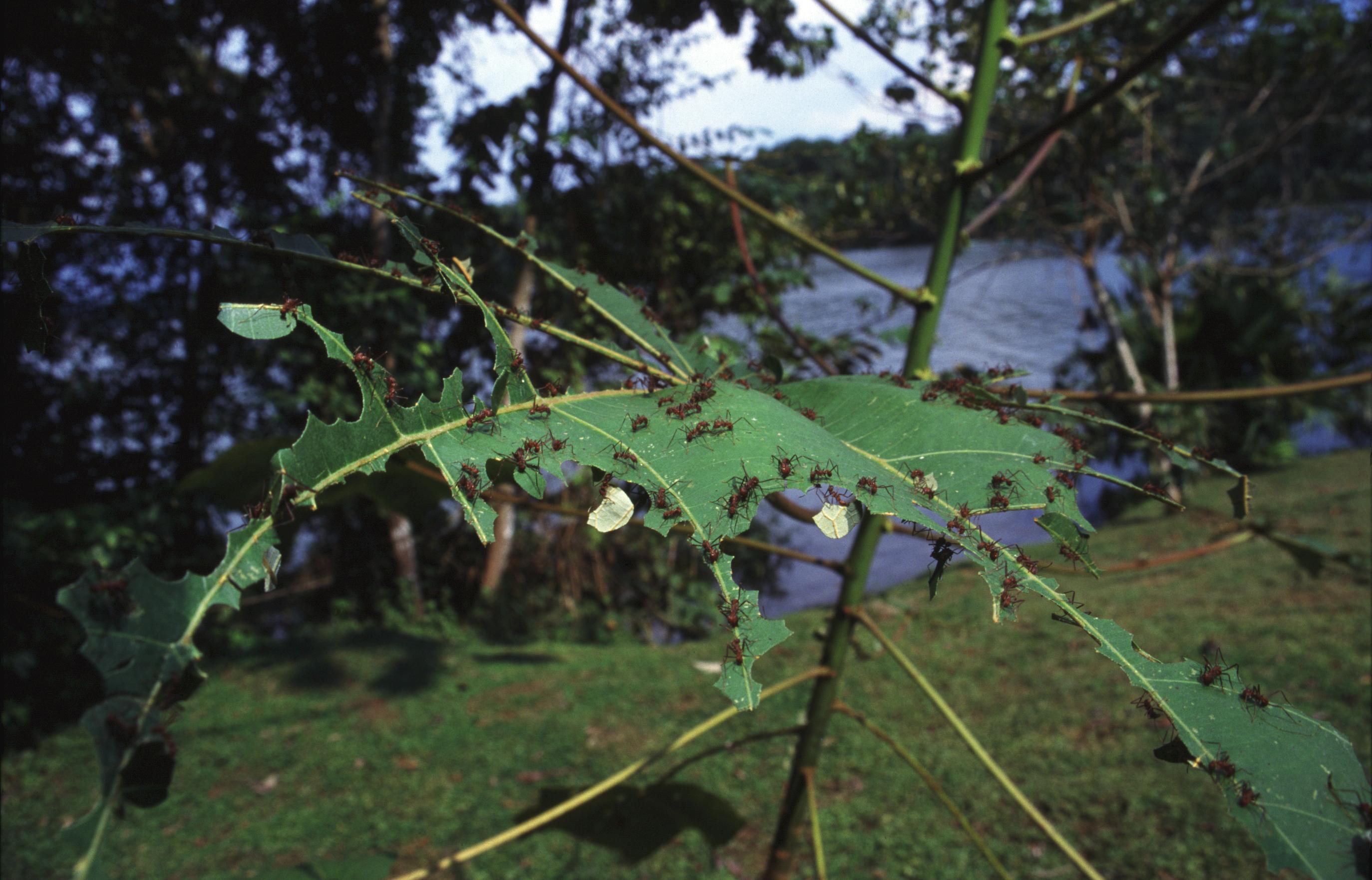 Муравьи-листорезы производят веселящий газ