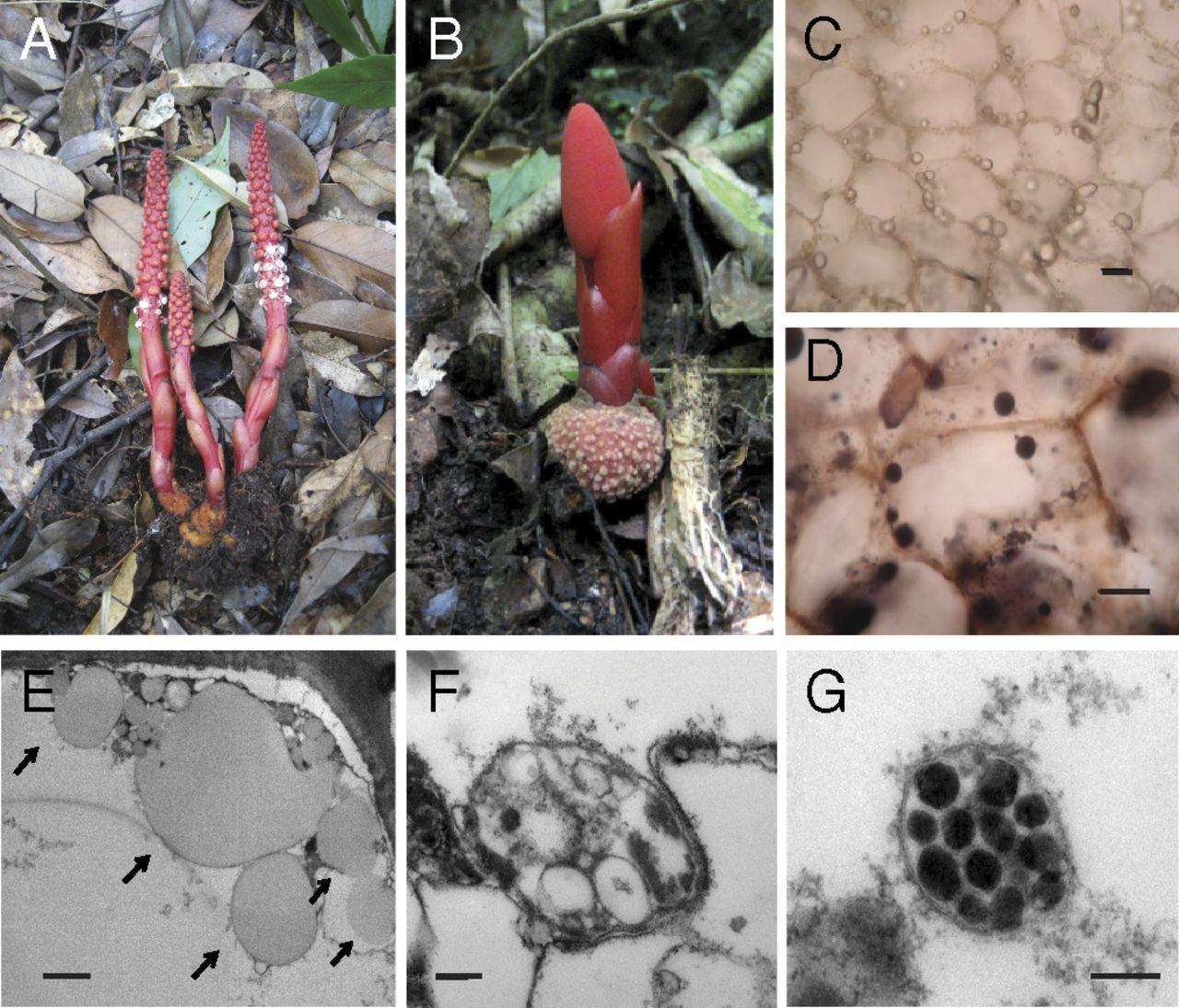 В пластидах паразитического растения обнаружили нетрадиционный генетический код