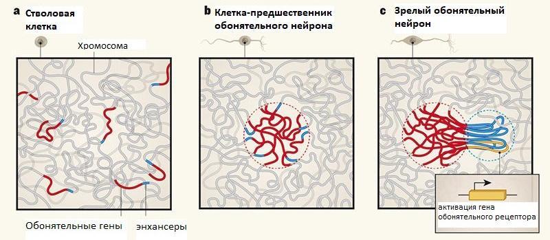 Как обонятельные нейроны выбирают обонятельные гены