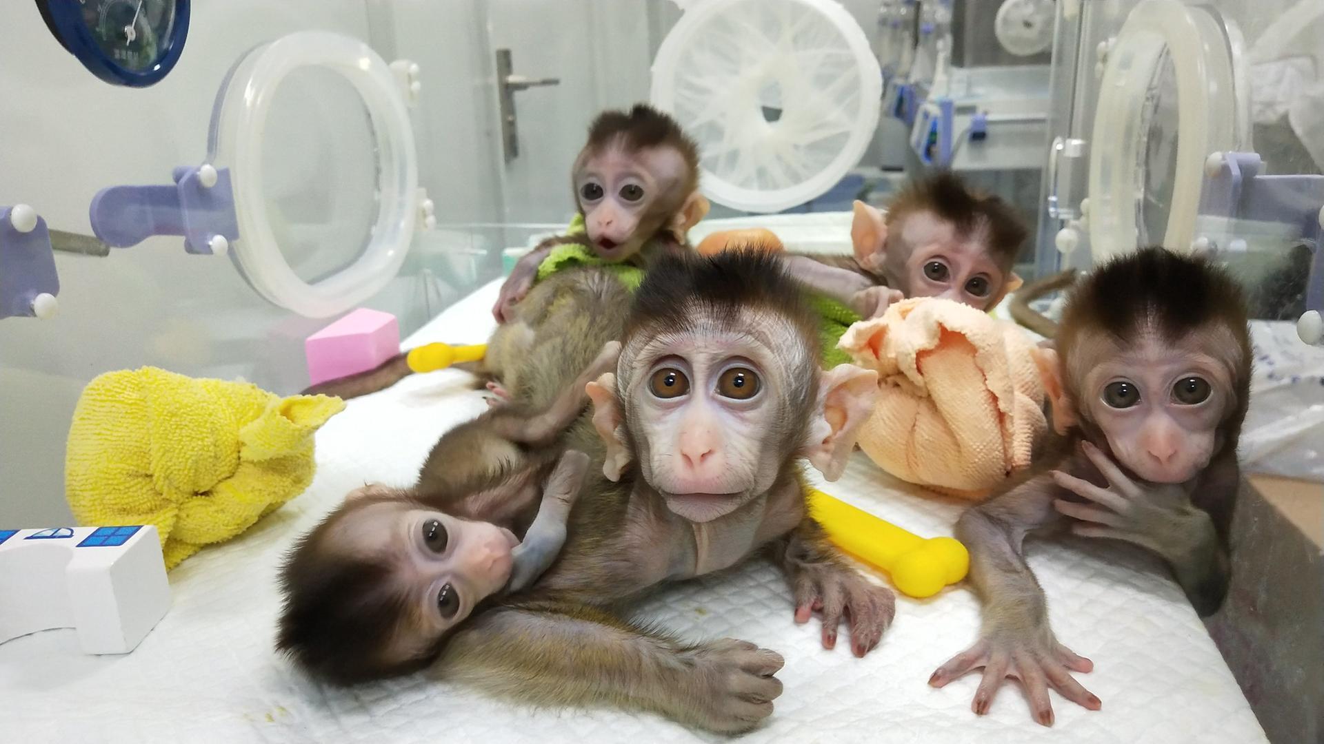Китайские ученые впервые клонировали CRISPR-обезьяну