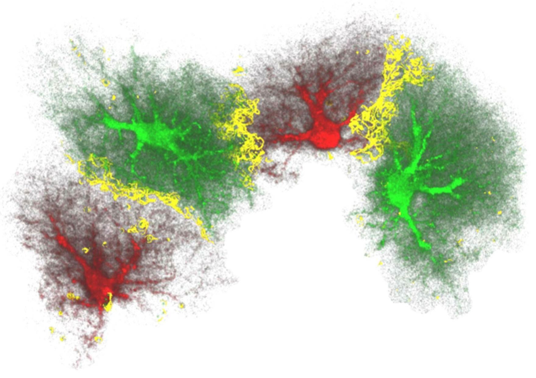 Как астроциты влияют на производство новых нейронов