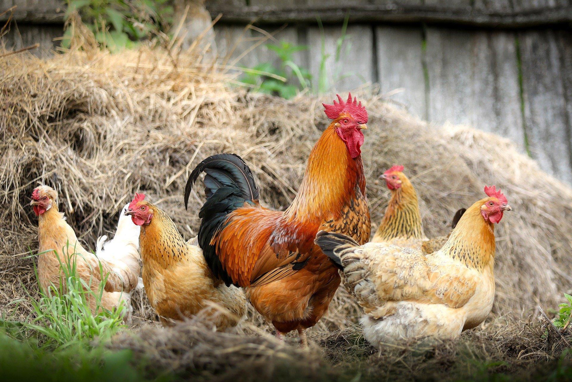 Малые фермерские хозяйства — источник бактерий, не боящихся антибиотиков