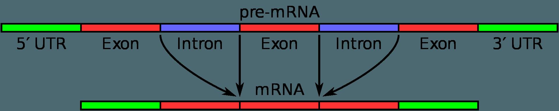 «Мусорная» ДНК помогает включать гены