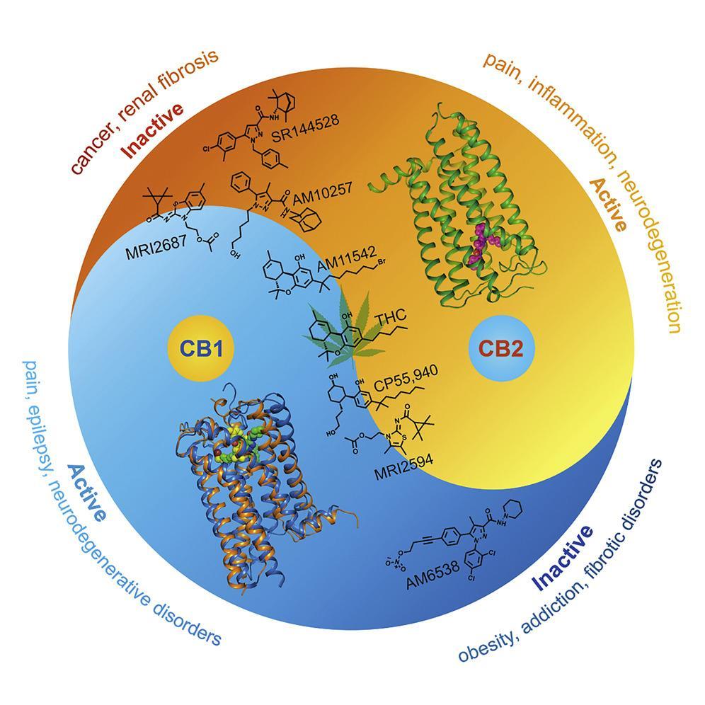 Второй каннабиноидный рецептор выдал свою структуру