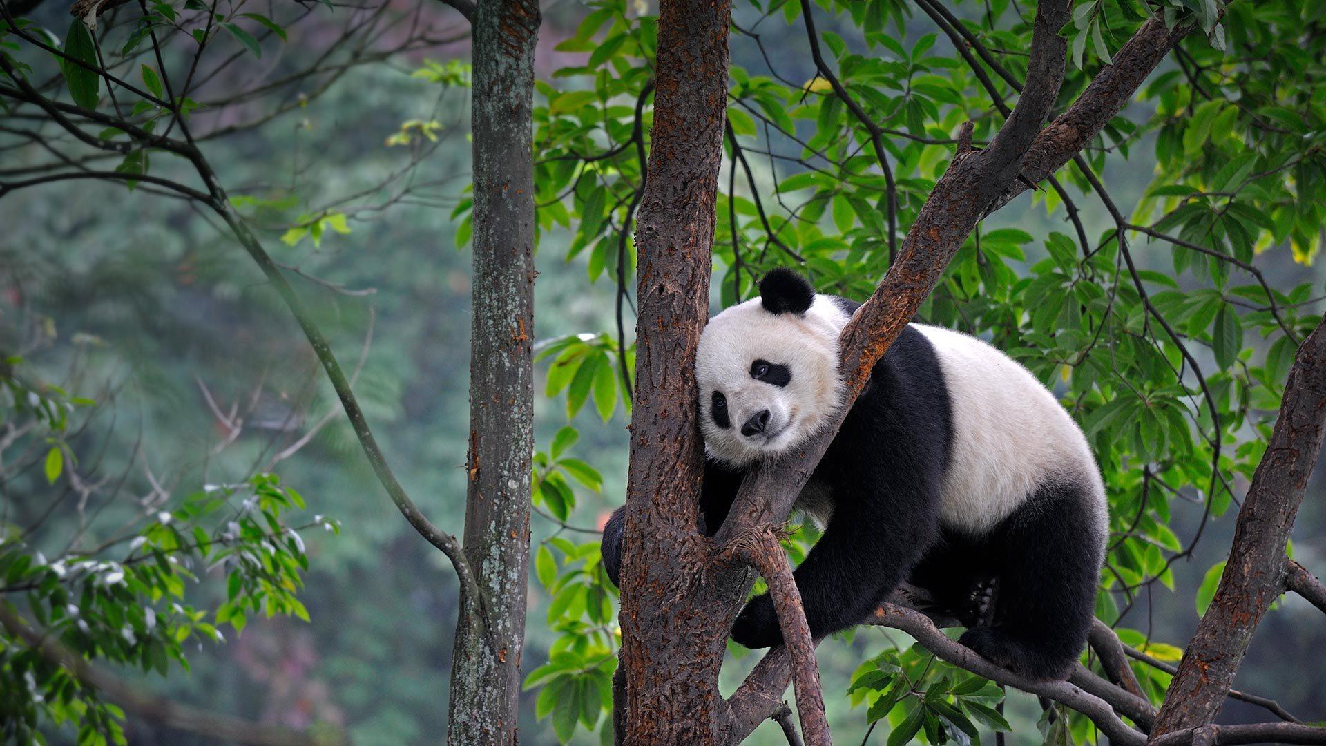 Большие панды смогли определить пол сородича по голосу с десяти метров