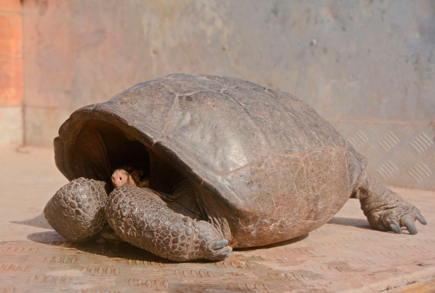 На Галапагосских островах нашли черепаху, чей вид считался вымершим более 100 лет назад