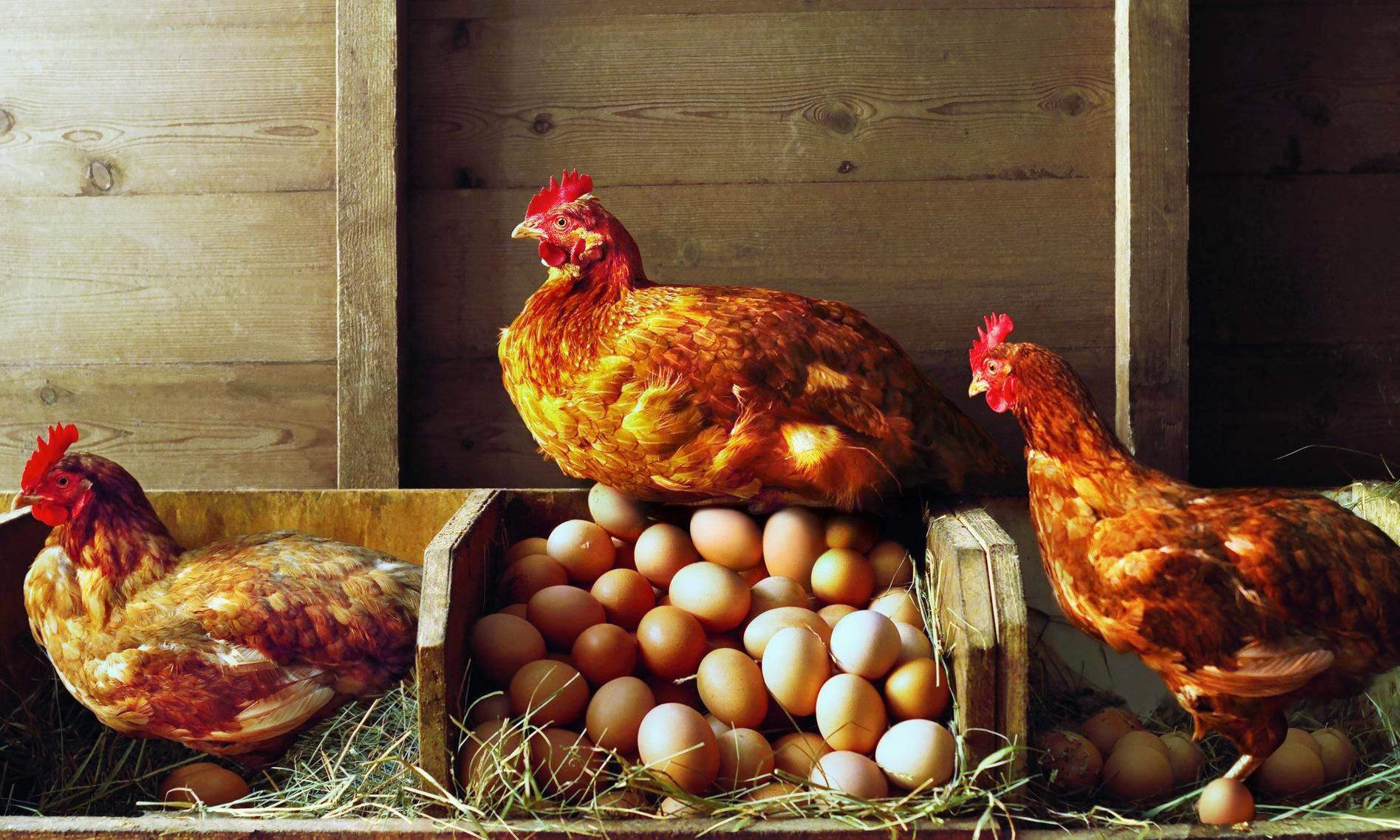 Человеческие белки в куриных яйцах — отличная перспектива для производства лекарств